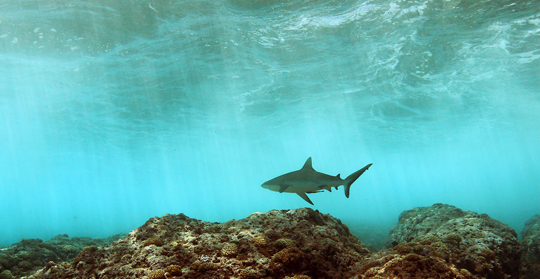 A grey reef shark patrols the reef