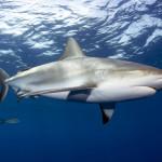 Caribbean Reef Shark_MG_7039