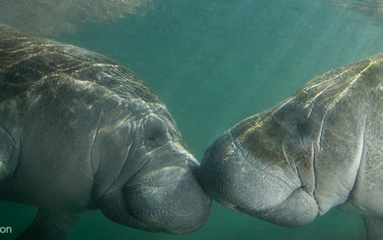 Photo of the Day ~ Kissing Manatees | Mission Blue