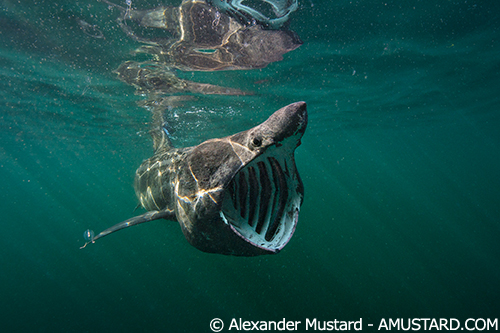 Feeding Basking Shark. UK