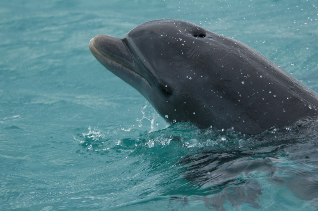 Bottlenose Dolphin: Photo Credit: Dolphin Ecology Project