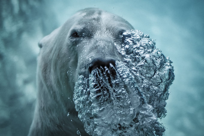 Polar Bear Exhaling by Jeff Rumans - Downloaded from 500px