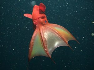 vampire-squid-found-to-eat-marine-snow-green-side_59704_600x450