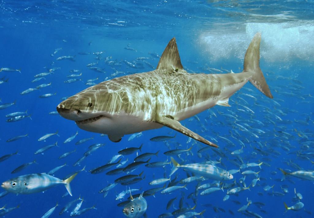 White_shark1