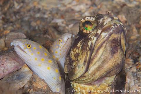 Jawfish & Intruders