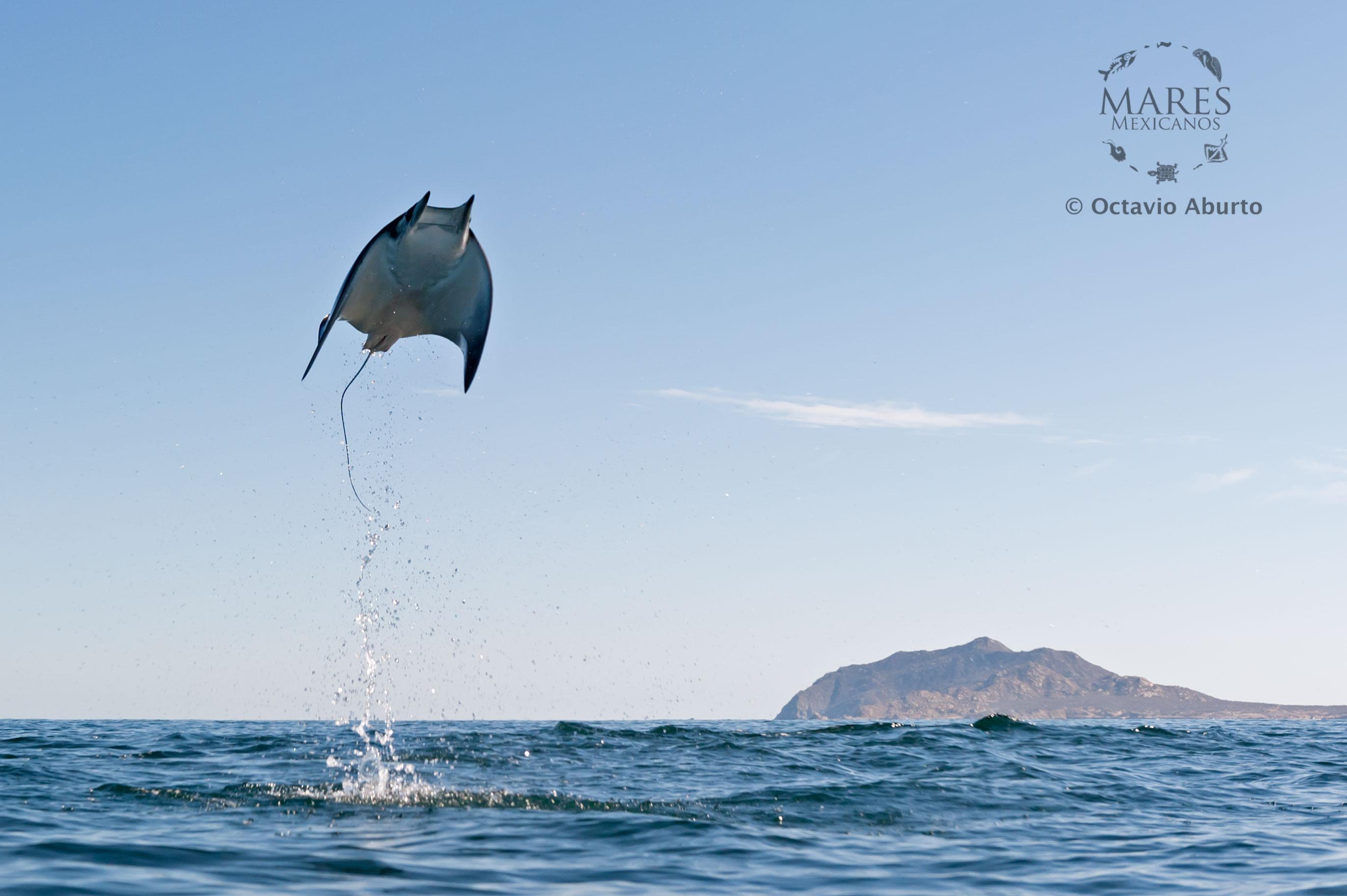 Cabo Pulmo Ray - Octavio Aburto
