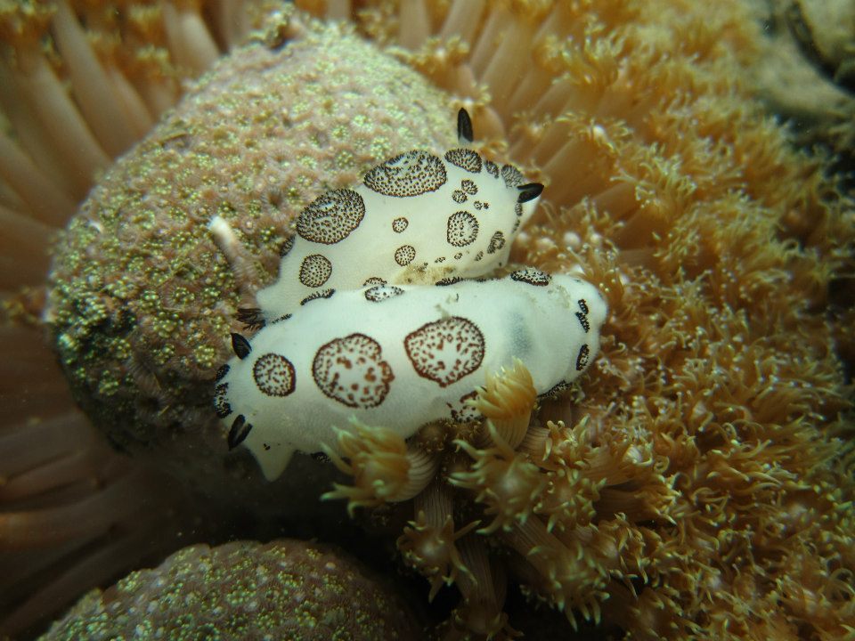 "Two dotted nudibranchs, Jorunna funebris, photo taken by Edwin ""Jong""  Dumalagan Jr., Project Seahorse Biologist"