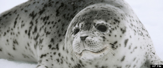 Photo: NOAA, a spotted seal rests on sea ice in the Bering Sea.