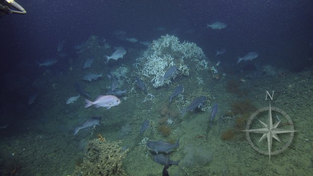 Courtesy of Ocean Exploration Trust and ECOGIG, a GOMRI-Funded Research Consortium
