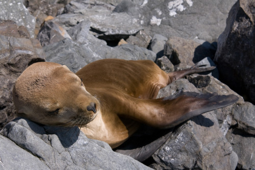 A starving sea lion pup in need of rescue. Kaelee Schoenneman/Marine Photo Bank