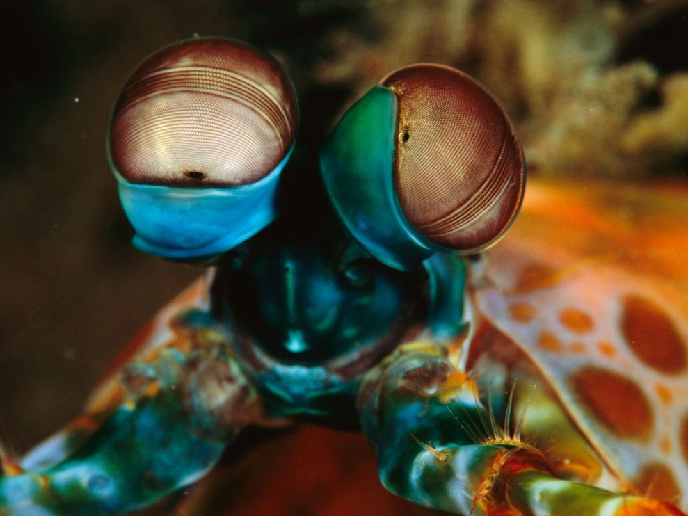 Photo of the Day ~ Peacock Mantis Shrimps' Amazing Eyes – Mission Blue