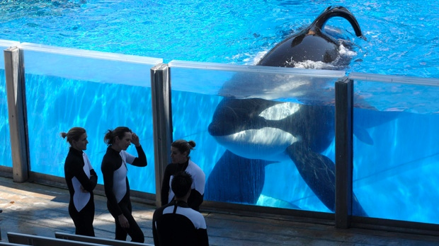 Tilikum watches as SeaWorld Orlando trainers take a break during a training session. Photo © Phelan M. Ebenhack/AP