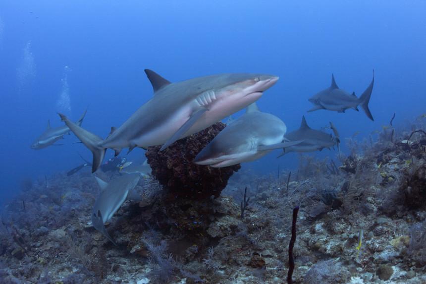 Caribbean reef sharks © Kip Evans