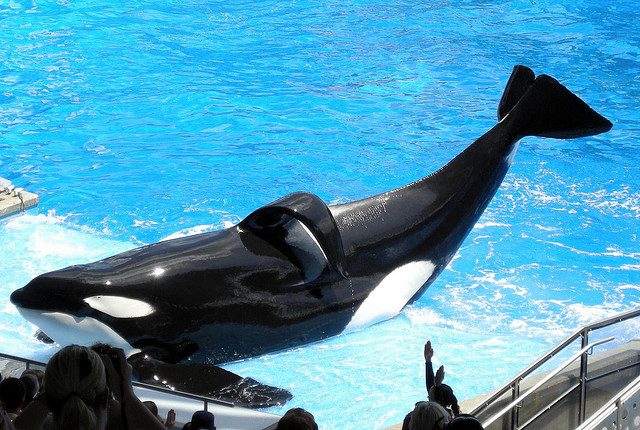 Tilikum is just one example of dorsal fin collapse in captive male orcas. Photo © Milan Boers