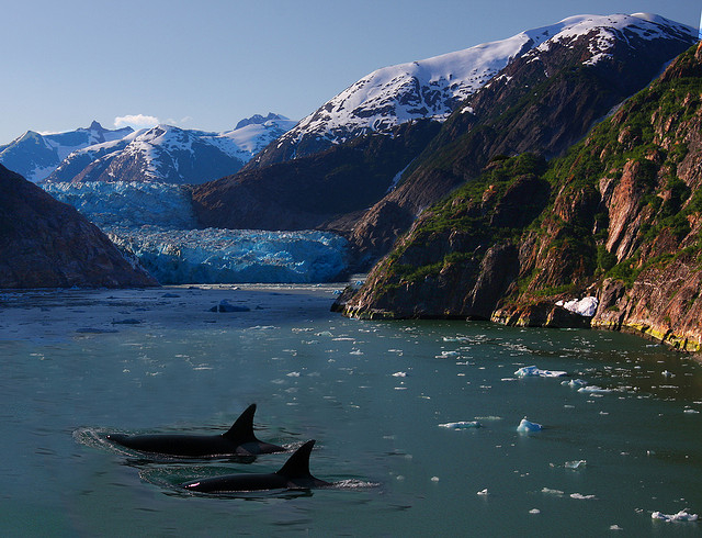 Two transient orcas make their way through an Alaskan fjord. Photo © Rennett Stowe