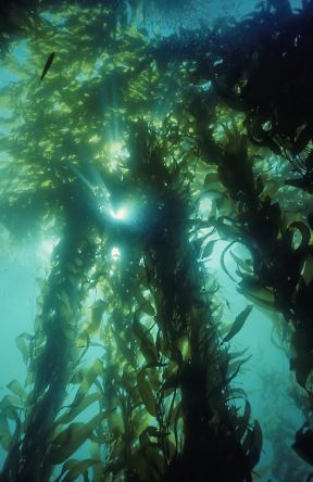 Kelp forests are among the offshore habitats in California's oceans, where the state fish the Garibaldi, below, and giant sea bass, at top, are found. © Charles Seaborn, Monterey Bay Aquarium