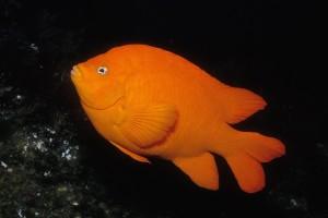Garibaldi (California state marine fish) © Charles Seaborn, Monterey Bay Aquarium
