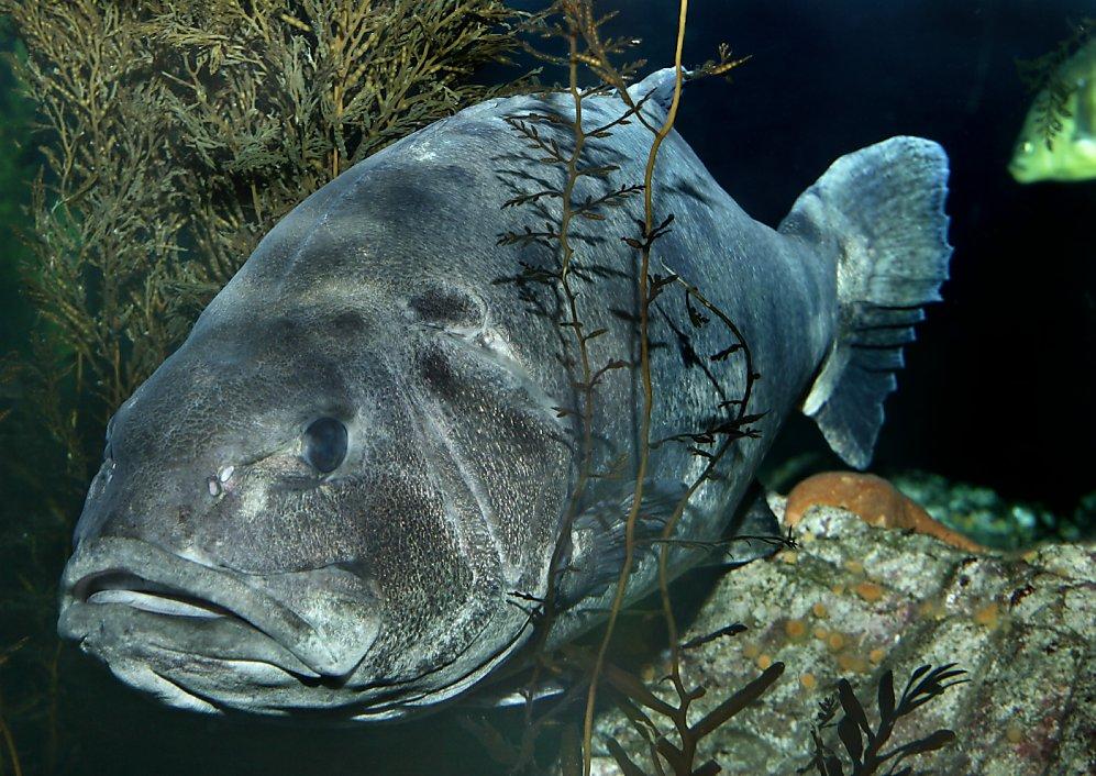 Giant Sea Bass © Randy Wilder, Monterey Bay Aquarium