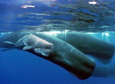 sperm-whaleAP