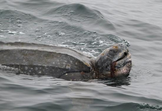 Leatherback Feeding (c) Mark Cotter