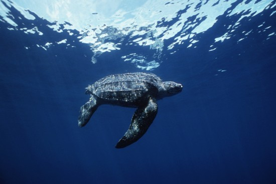 Leatherback underwater Doug Perrine