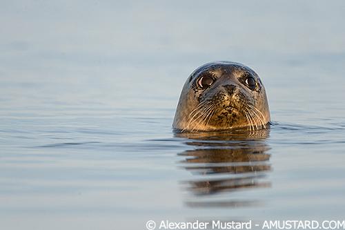 Common Seal Portrait. Coll, Scotland