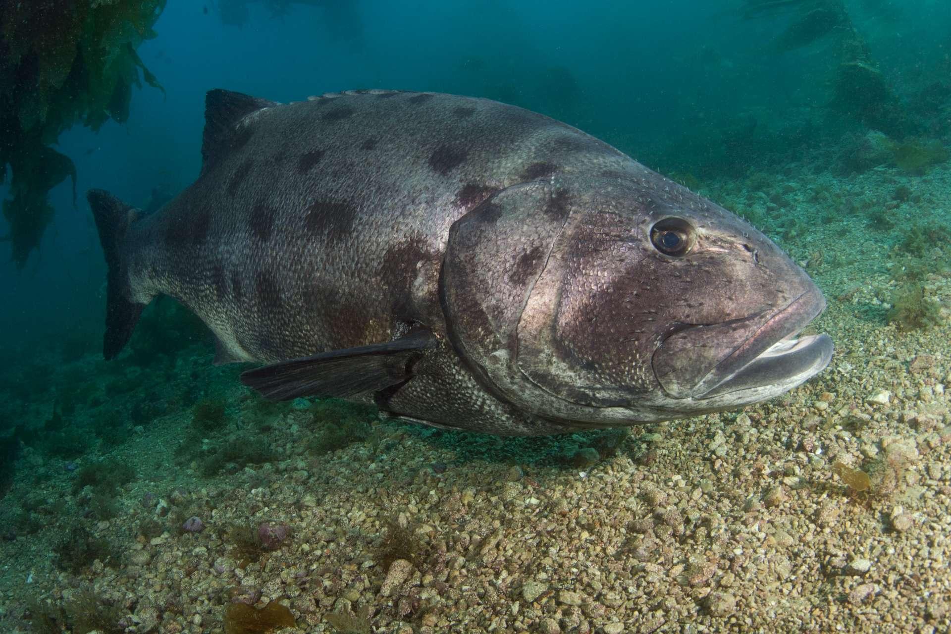 Black sea bass_1286