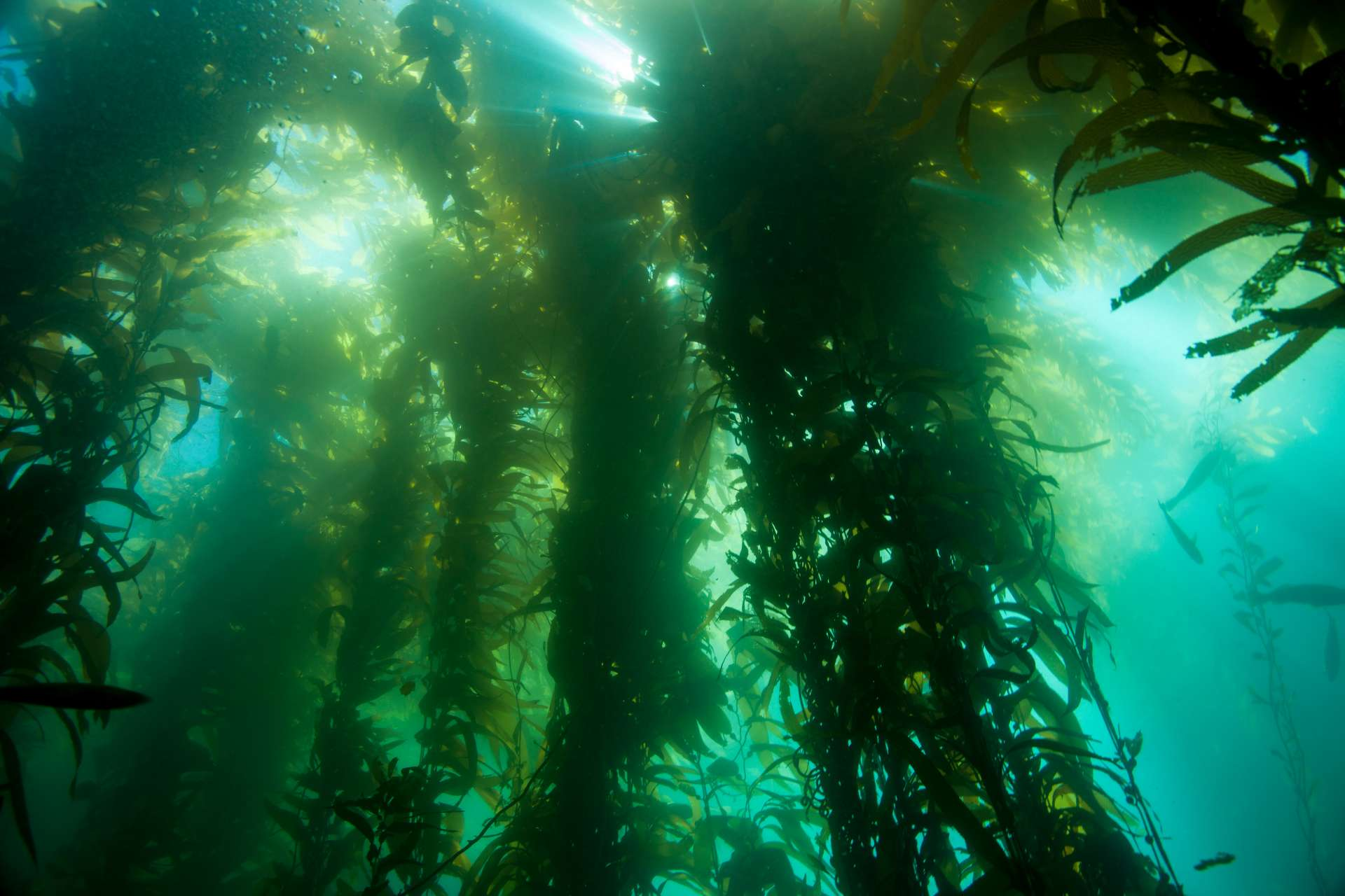 Channel Is – Kelp canopy – Mission Blue