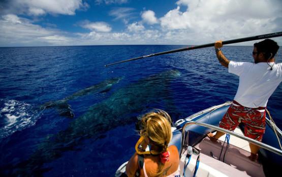humpback-whale-tag5