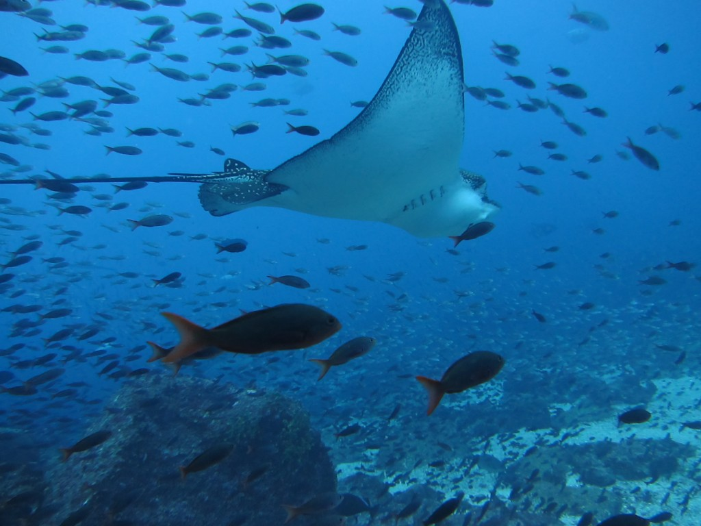 An eagle ray swoops among thousands of fish in the Galapagos