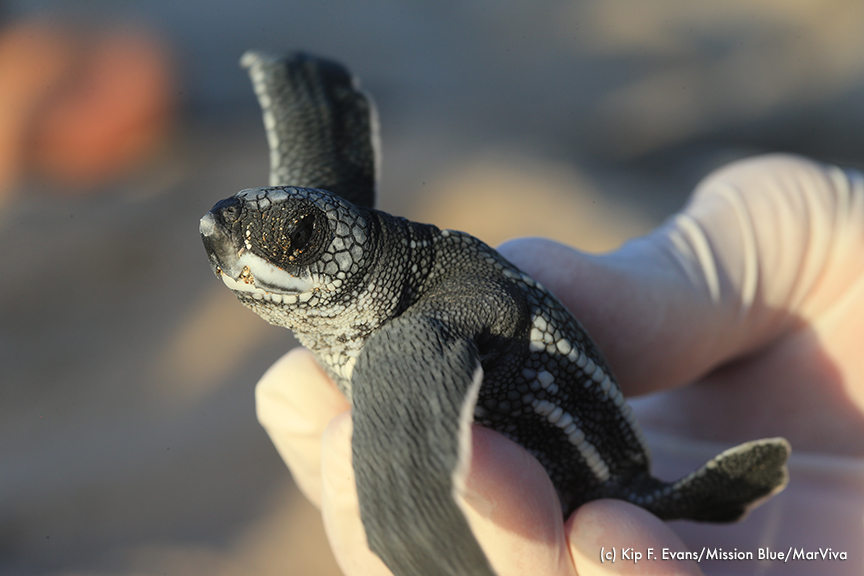 Leatherback hatchling. © Kip Evans for Mission Blue/MarViva
