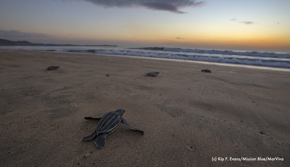 Leatherback Hatchling going to sea(c) Kip F. EvansMBMarViva