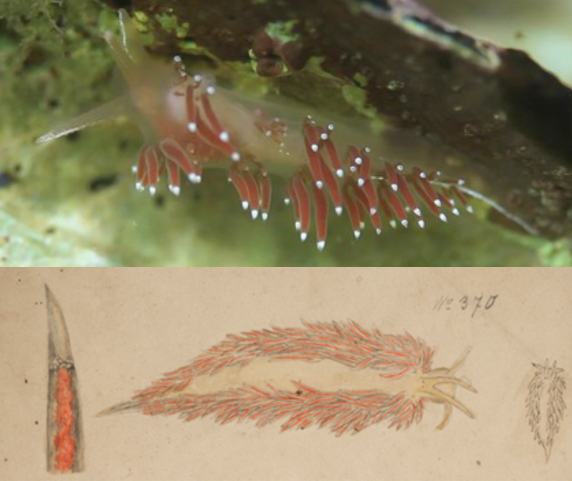 Photo of nudibranch Acolis rudibranchialis taken at Shoals Marine Lab in Maine © David O. Brown (above) and watercolor sketch of the same species by Rudolf Blaschka © Rakow Research Library, The Corning Museum of Glass (below).