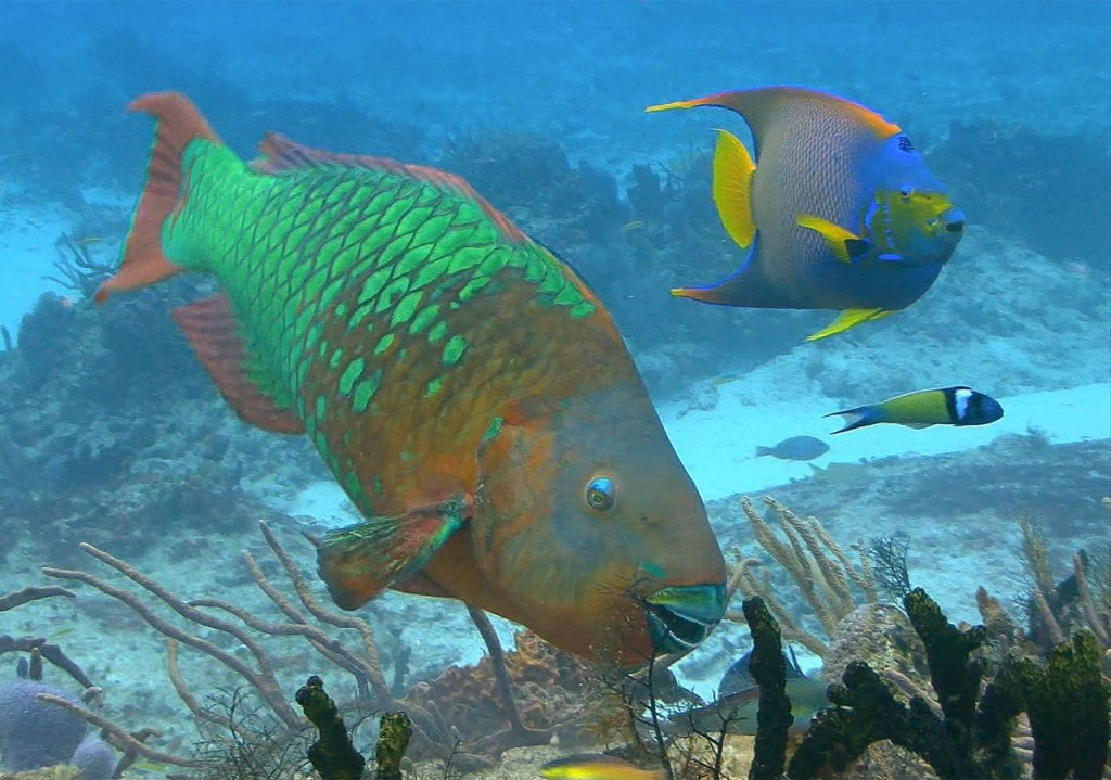 Rare Rainbow Parrot Fish Grazes in the Caribbean, Shutterstock.