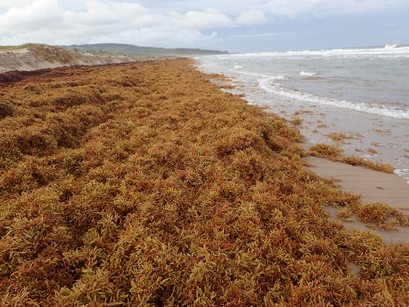 Sargassum Inundates the Beaches of the Caribbean - Mission Blue