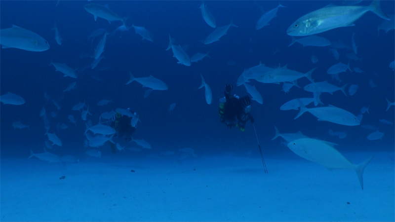 Dan Wagner (left) and Jason Leonard (right), surrounded by a large school of Amberjack (Seriola dumerili), head out over the sand at a depth of 200 feet (60 meters) in search of a ledge. Photo by Richard L. Pyle.