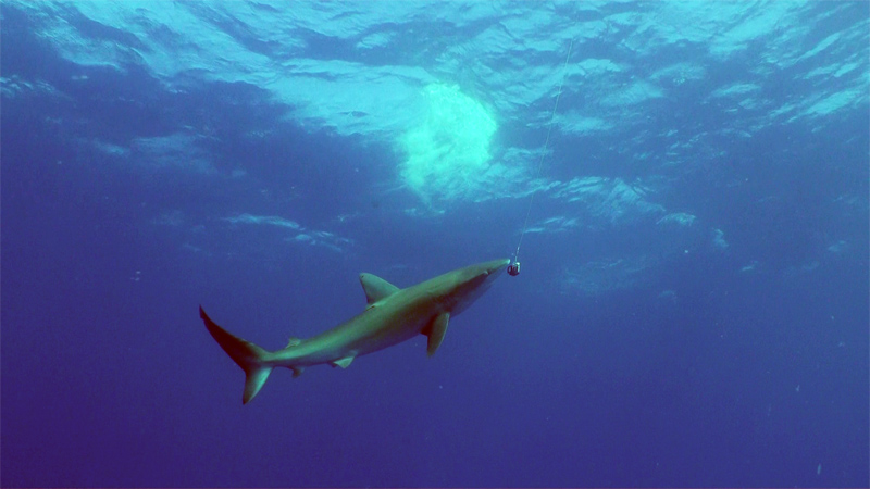 A Galapagos Shark (Carcharhinus galapagensis) inspects a GoPro camera that Rob dangled from a line. Photo by Richard L, Pyle.