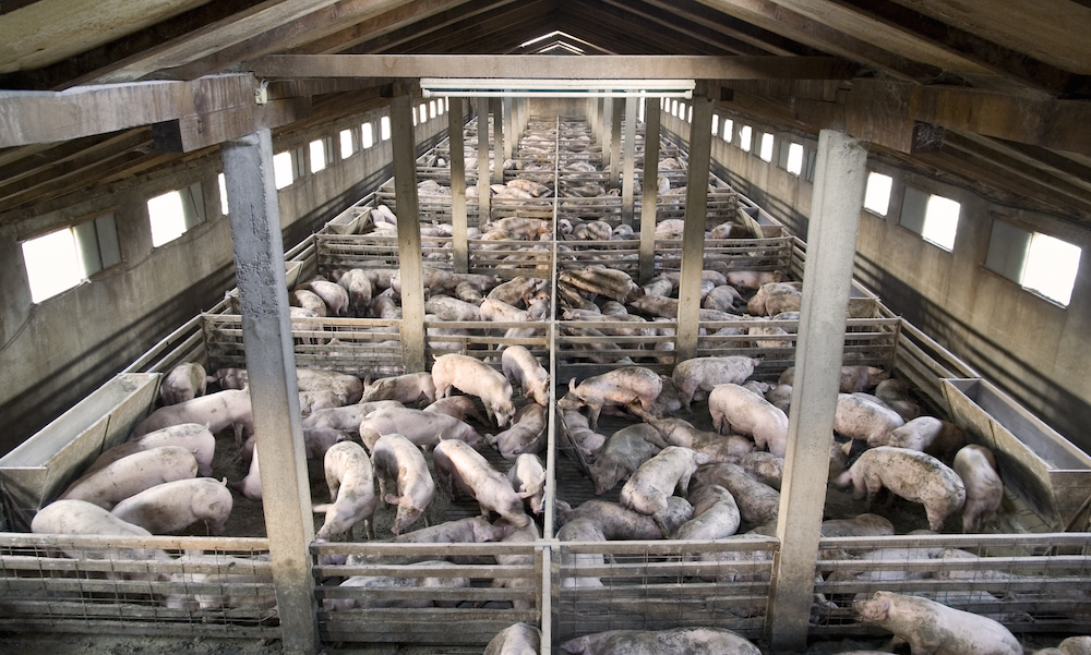factory farming essay 2 out of every 3 farm animals in the world are now factory farmed  11 facts about animals and factory farms  disturbing facts on factory farming & food safety.