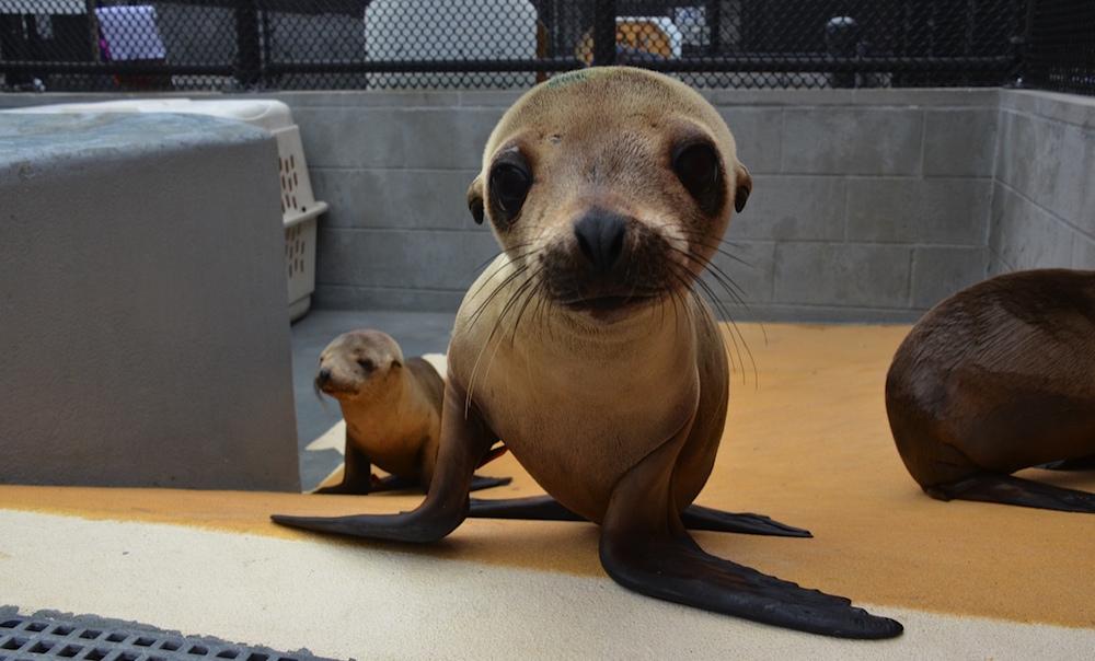 Sea lion pups starving along california coast mission blue sea lion pups publicscrutiny Images