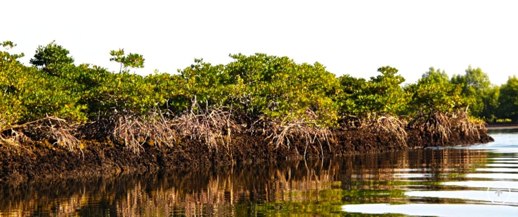 Mangrove forest. © WIF