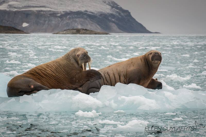"""Walrus cow taking care of her calf. Calves are usually born on the ice and the cow will nurse them for about 2 years. After 6 months of milk, solid food is added to the calves diet. This calf was almost as big as its mom. As polar bears, walrusses needs the ice to survive!"" – Ellen Cuylaerts"