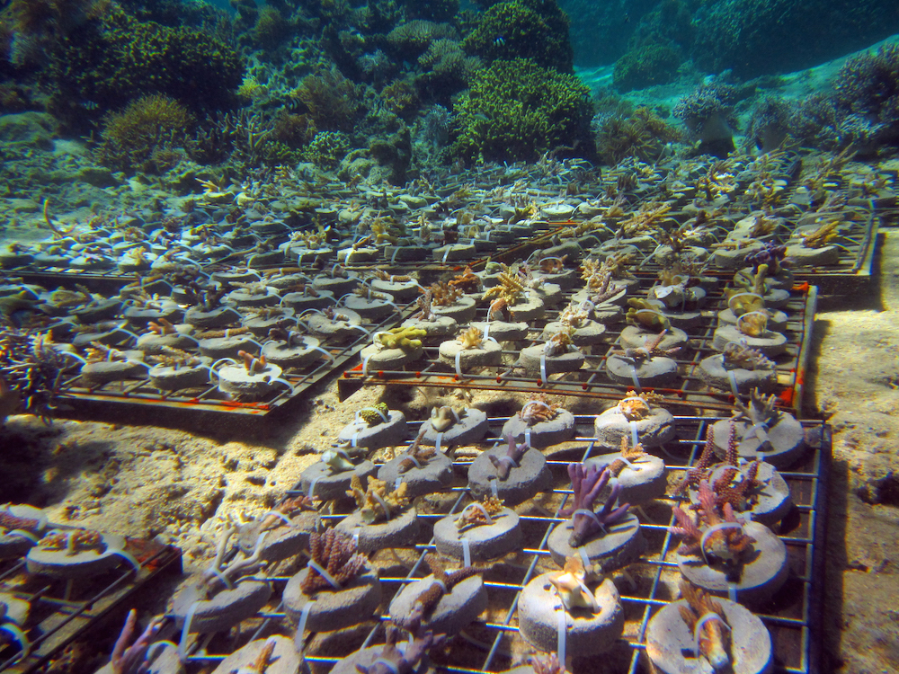 Trays of recently-propagated corals await transfer from the no-take marine protected area to the new coral nursery in Votua Village's fished area. Image © Reef Explorer Fiji, Ltd.