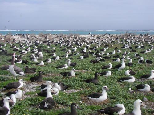 Just a few of the albatross that call Midway Atoll home. Photo credit: USFWS