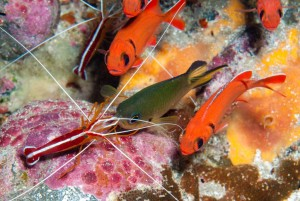 Cleaner shrimp with Apollo damselfish © SMSG