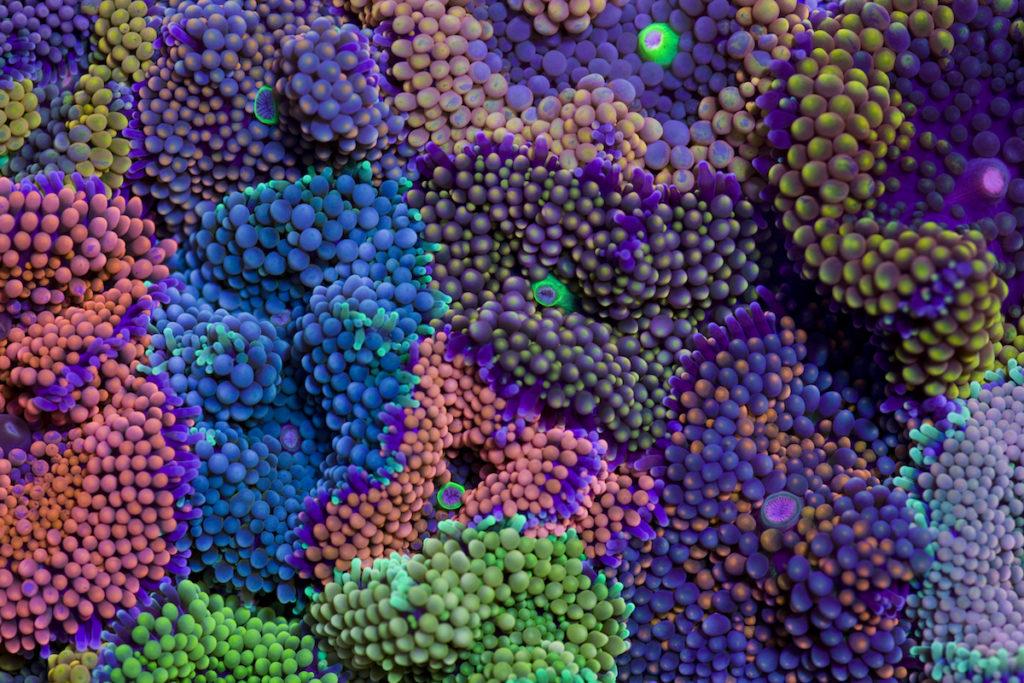 Ricordea florida © Coral Morphologic