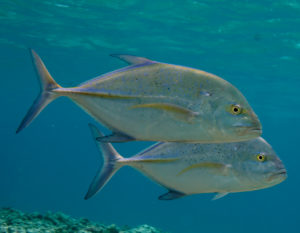 bluefin-trevally