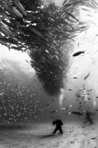 Mexico, Baja California, Sea of Cortez. Scuba Divers at the bottom of a  big school of Jacks forming a tornado found at the protected marine area of Cabo Pulmo. @ Christian Vizzle