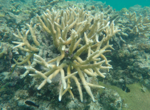 Staghorn coral located in the reef off Little Cayman.