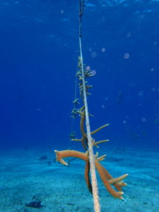 One of CCMI's staghorn coral nurseries. @ Dr. Steve Whalan/CCMI