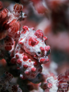 blueline-seahorse-1